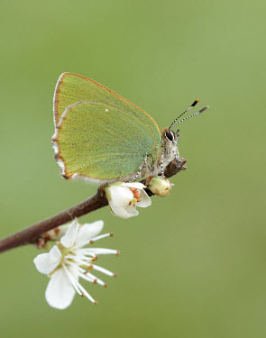 Green hairstreak Close up,blur,selective focus,blurry,depth of field,Shallow focus,blurred,soft focus,Macro,macrophotography,wings,wing,winged,colours,color,colors,Colour,Green,coloration,Colouration,butterfly,butterf