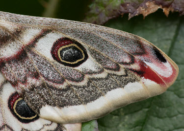 Emperor moth Macro,macrophotography,coloration,Colouration,patterns,patterned,Pattern,scale,scaly,Scales,Close up,mimic,Mimicry,copy,moth,moths,Emperor moth,Saturnia pavonia,Giant Silkworm Moths, Royal Moths,Satur