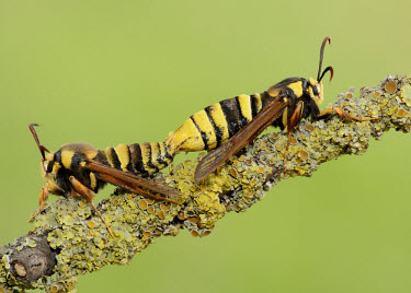 Hornet moth colours,color,colors,Colour,yellow,mimic,Mimicry,copy,Macro,macrophotography,patterns,patterned,Pattern,Green background,stripe,Stripes,stripy,striped,Close up,blur,selective focus,blurry,depth of fie