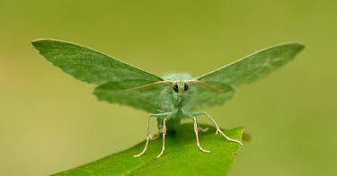 Large emerald Close up,Macro,macrophotography,Green background,Green,colours,color,colors,Colour,coloration,Colouration,Large emerald,Animalia,Arthropoda,Insecta,Lepidoptera,Geometridae,Geometra papilionaria,moth,m