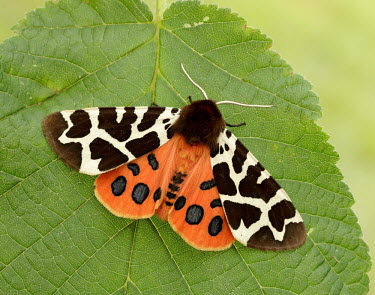 Garden tiger moth Close up,colours,color,colors,Colour,orange,peach,Macro,macrophotography,coloration,Colouration,Garden tiger moth,Garden tiger,moth,moths,Animalia,Arthropoda,Insecta,Lepidoptera,Erebidae,Arctia caja
