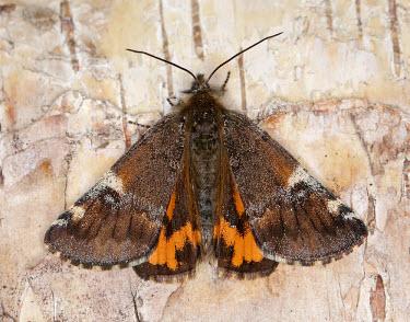 Orange underwing Orange underwing,Animalia,Arthropoda,Insecta,Lepidoptera,Geometridae,Archiearis parthenias,moth,moths,Archiearis parthenias,