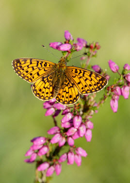 Small pearl-bordered fritillary coloration,Colouration,patterns,patterned,Pattern,Macro,macrophotography,Green background,colours,color,colors,Colour,orange,peach,Close up,butterfly,butterflies,Small pearl-bordered fritillary,Bolori