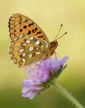 Dark green fritillary Animalia,Arthropoda,Insecta,Lepidoptera,Nymphalidae,Argynnis,Argynnis aglaja,butterfly,butterflies,Dark green fritillary