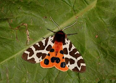 Garden tiger moth Garden tiger moth,Garden tiger,moth,moths,Animalia,Arthropoda,Insecta,Lepidoptera,Erebidae,Arctia caja