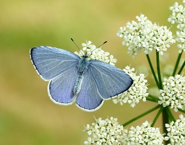 Holly blue Grassland,colours,color,colors,Colour,azul,Blue,coloration,Colouration,floral,Flower,wildflower meadow,Meadow,Close up,Terrestrial,ground,Pollen,pollinium,pollinia,environment,ecosystem,Habitat,Macro,