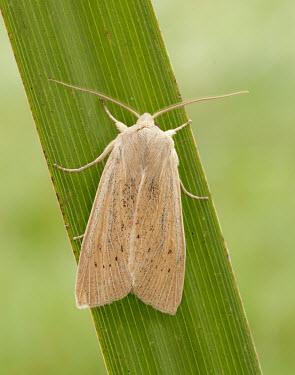 Large wainscot Large wainscot,Isle of Wight wainscot,moth,moths,Animalia,Arthropoda,Insecta,Lepidoptera,Noctuidae,Rhizedra lutosa