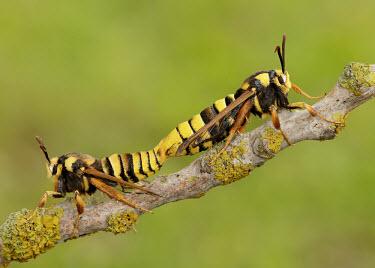 Hornet moth colours,color,colors,Colour,yellow,Green background,coloration,Colouration,mimic,Mimicry,copy,blur,selective focus,blurry,depth of field,Shallow focus,blurred,soft focus,Macro,macrophotography,Close u