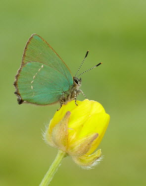 Green hairstreak wings,wing,winged,blur,selective focus,blurry,depth of field,Shallow focus,blurred,soft focus,Macro,macrophotography,coloration,Colouration,colours,color,colors,Colour,Green,Close up,butterfly,butterf