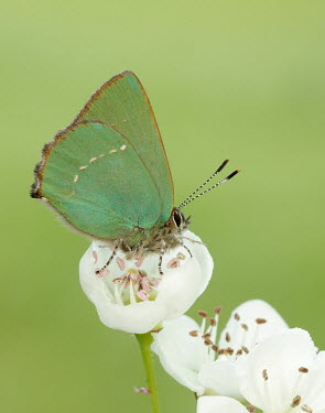 Green hairstreak coloration,Colouration,wings,wing,winged,Macro,macrophotography,Green,colours,color,colors,Colour,blur,selective focus,blurry,depth of field,Shallow focus,blurred,soft focus,Close up,butterfly,butterf