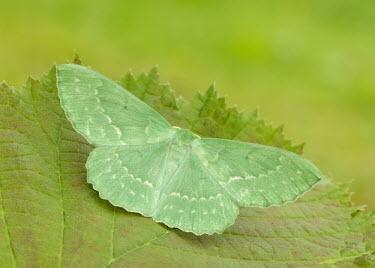 Large emerald Large emerald,Animalia,Arthropoda,Insecta,Lepidoptera,Geometridae,Geometra papilionaria,moth,moths