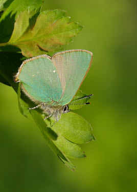 Green hairstreak Macro,macrophotography,colours,color,colors,Colour,coloration,Colouration,wings,wing,winged,blur,selective focus,blurry,depth of field,Shallow focus,blurred,soft focus,Close up,Green,butterfly,butterf