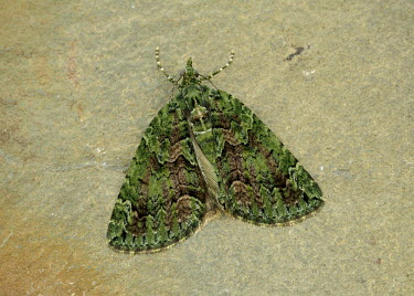 Red-green carpet Green,colours,color,colors,Colour,Macro,macrophotography,hidden,crypsis,Camouflage,camo,disguise,disguised,camouflaged,Close up,coloration,Colouration,Red-green carpet,moth,moths,Animalia,Arthropoda,I