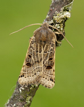 Lunar underwing Lunar underwing,Animalia,Arthropoda,Insecta,Lepidoptera,Noctuidae,Omphaloscelis lunosa,moth,moths