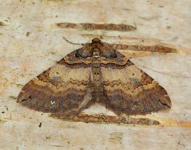 Shoulder stripe Animalia,Athropoda,Insecta,Lepidoptera,Geometridae,Earophila badiata,moth,moths,Shoulder stripe