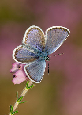 Silver-studded blue Macro,macrophotography,environment,ecosystem,Habitat,wildflower meadow,Meadow,Close up,blur,selective focus,blurry,depth of field,Shallow focus,blurred,soft focus,Grassland,Terrestrial,ground,Silver-s