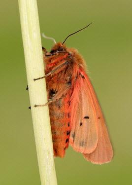 Ruby tiger Ruby tiger,Animalia,Athropoda,Insecta,Lepidoptera,Noctuoidea,Erebidae,Phragmatobia fuliginosa,moth,moths