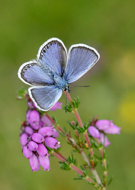 Silver-studded blue Grassland,Close up,spotty,spot,Spots,spotted,blur,selective focus,blurry,depth of field,Shallow focus,blurred,soft focus,floral,Flower,environment,ecosystem,Habitat,coloration,Colouration,Terrestrial,