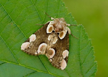 Peach blossom Close up,Macro,macrophotography,Animalia,Athropoda,Insecta,Lepidoptera,Drepanidae,Thyatira batis,Peach blossom,moth,moths