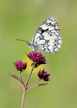 Marbled white environment,ecosystem,Habitat,Close up,Terrestrial,ground,wildflower meadow,Meadow,floral,Flower,Macro,macrophotography,Grassland,Marbled white,Animalia,Arthropoda,Insecta,Lepidoptera,Nymphalidae,Mela