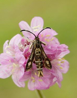 Thrift clearwing Grassland,Green background,Macro,macrophotography,Terrestrial,ground,environment,ecosystem,Habitat,wildflower meadow,Meadow,Pink background,Close up,floral,Flower,Thrift clearwing,moth,moths,Animalia,