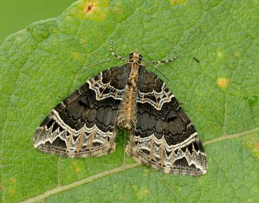 Small phoenix Animalia,Athropoda,Insecta,Lepidoptera,Geometridae,Ecliptopera silaceata,moth,moths,Small phoenix