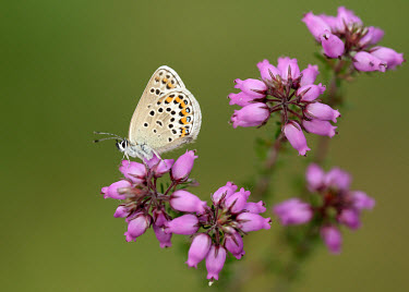 Silver-studded blue spotty,spot,Spots,spotted,blur,selective focus,blurry,depth of field,Shallow focus,blurred,soft focus,Macro,macrophotography,Close up,patterns,patterned,Pattern,coloration,Colouration,Silver-studded b