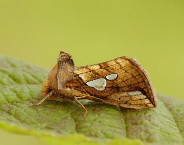 Lempke's gold spot moth Lempke's gold spot moth,Animalia,Arthropoda,Insecta,Lepidoptera,Noctuidae,Rhizedra lutosa,moth,moths