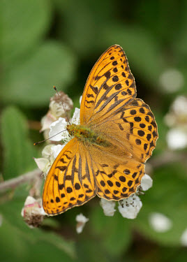 Silver-washed fritillary patterns,patterned,Pattern,coloration,Colouration,colours,color,colors,Colour,Greenery,foliage,vegetation,Macro,macrophotography,orange,peach,Close up,Silver-washed fritillary,Animalia,Arthropoda,Inse