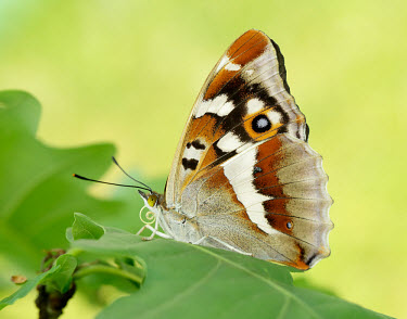 Purple emperor Animalia,Arthropoda,Insecta,Lepidoptera,Nymphalidae,Apatura iris,Purple emperor,butterfly,butterflies,Butterflies, Skippers, Moths,Brush-Footed Butterflies,Arthropods,Insects,Species of Conservation C