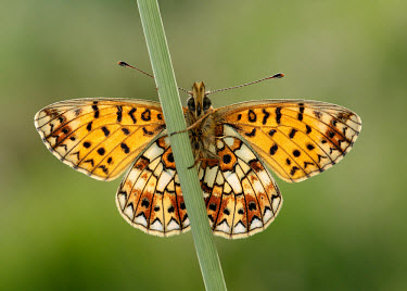 Small pearl-bordered fritillary Macro,macrophotography,colours,color,colors,Colour,coloration,Colouration,patterns,patterned,Pattern,orange,peach,Green background,Close up,butterfly,butterflies,Small pearl-bordered fritillary,Bolori