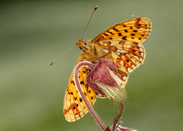 Pearl-bordered fritillary Pearl-bordered fritillary,Animalia,Arthropoda,Insecta,Lepidoptera,Nymphalidae,Boloria euphrosyne,butterfly,butterflies,Brush-Footed Butterflies,Insects,Arthropods,Butterflies, Skippers, Moths,Broadlea
