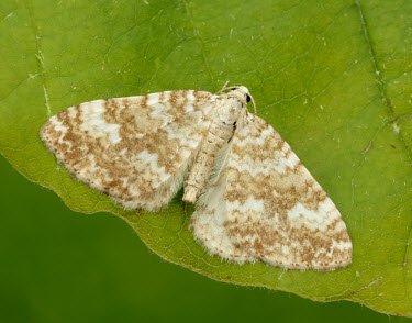 Sandy carpet Animalia,Athropoda,Insecta,Lepidoptera,Geometridae,Perizoma flavofasciata,moth,moths,Sandy carpet