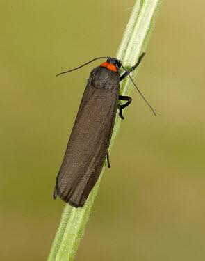 Red-necked footman Animalia,Athropoda,Insecta,Lepidoptera,Noctuoidea,Erebidae,Atolmis rubricollis,moth,moths,Red-necked footman