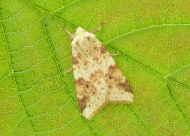 Sallow Sallow,Animalia,Athropoda,Insecta,Lepidoptera,Noctuidae,Cirrhia icteritia,moth,moths
