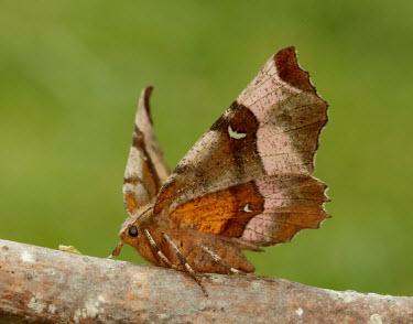 Purple thorn Animalia,Athropoda,Insecta,Lepidoptera,Geometridae,Selenia tetralunaria,moth,moths,Purple thorn