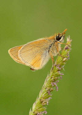 Small skipper colours,color,colors,Colour,coloration,Colouration,orange,peach,Close up,Macro,macrophotography,Green background,Small skipper,Animalia,Arthropoda,Insecta,Lepidoptera,Hesperiidae,Thymelicus sylvestris
