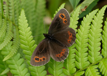 Scotch argus Green background,Greenery,foliage,vegetation,leaf,leafy,Leafy background,leaves,Scotch argus,butterflies,butterfly,Animalia,Arthropoda,Insecta,Lepidoptera,Nymphalidae,Erebia aethiops