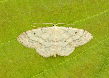 Small fan-footed wave Animalia,Athropoda,Insecta,Lepidoptera,Geometridae,Idaea biselata,moth,moths,Small fan-footed wave