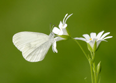 Wood white Macro,macrophotography,Green background,white,colours,color,colors,Colour,coloration,Colouration,Close up,Wood white,Animalia,Arthropoda,Insecta,Lepidoptera,Pieridae,Leptidea sinapis,butterfly,butterf