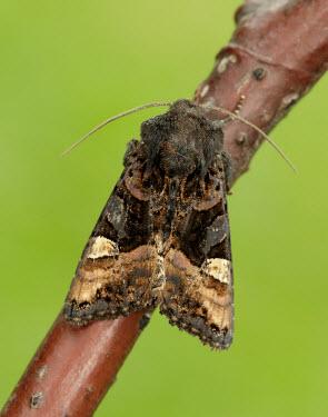 Small angle shades Animalia,Athropoda,Insecta,Lepidoptera,Noctuidae,Euplexia lucipara,moth,moths,Small angle shades