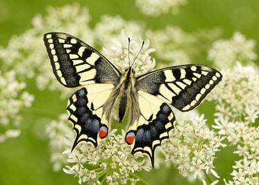 Swallowtail butterfly,butterflies,Swallowtail,Papilio machaon,Swallowtails,Papilionidae,Insects,Insecta,Lepidoptera,Butterflies, Skippers, Moths,Arthropoda,Arthropods,Animalia,Wetlands,Species of Conservation Con