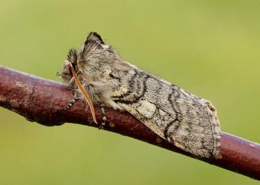 Yellow horned Yellow horned,Animalia,Athropoda,Insecta,Lepidoptera,Drepanidae,Achlya flavicornis moth,moths,Achlya flavicornis
