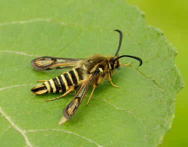Six-belted clearwing Close up,leaf,leafy,Leafy background,leaves,Greenery,foliage,vegetation,Macro,macrophotography,Six-belted clearwing,Animalia,Arthropoda,Insecta,Lepidoptera,Sesiidae,Bembecia ichneumoniformis,clearwing