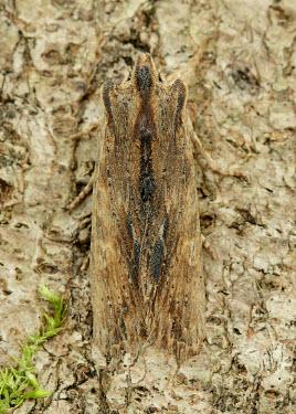 Tawny pinion Tawny pinion,moth,moths,Animalia,Arthropoda,Insecta,Lepidoptera,Noctuidae,Lithophane semibrunnea