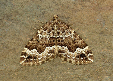 Water carpet Water carpet,Animalia,Athropoda,Insecta,Lepidoptera,Geometridae,Lampropteryx suffumata,moth,moths