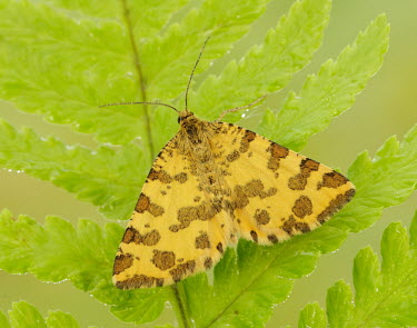 Speckled yellow Speckled yellow,Animalia,Arthropoda,Insecta,Lepidoptera,Geometridae,Pseudopanthera macularia