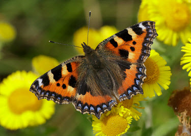 Small tortoiseshell butterfly,butterflies,Small tortoiseshell,Aglais urticae,Lepidoptera,Butterflies, Skippers, Moths,Insects,Insecta,Nymphalidae,Brush-Footed Butterflies,Arthropoda,Arthropods,Fluid-feeding,Flying,Agricu