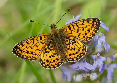 Small pearl-bordered fritillary butterfly,butterflies,Small pearl-bordered fritillary,Boloria selene,Arthropoda,Arthropods,Lepidoptera,Butterflies, Skippers, Moths,Nymphalidae,Brush-Footed Butterflies,Insects,Insecta,Europe,Animalia