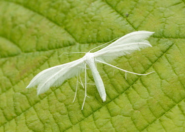White plume moth coloration,Colouration,colours,color,colors,Colour,white,Close up,Green background,Macro,macrophotography,Animalia,Athropoda,Insecta,Lepidoptera,Pterophoridae,Pterophorus pentadactyla,moth,moths,White